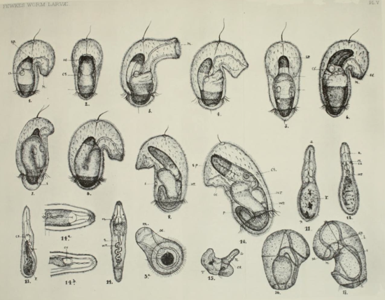 "Jesse's drawings of larvae of Pilidium recurvatum, a ribbon worm (Nemertia), from his publication ""On the development of certain worm larvae""  (Image provided by Jon Norenburg, from publication) [2]."