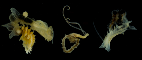 Chaetopteridae collected in the Red Sea