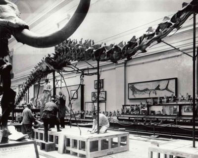 Installing the mounted skeleton, circa 1931