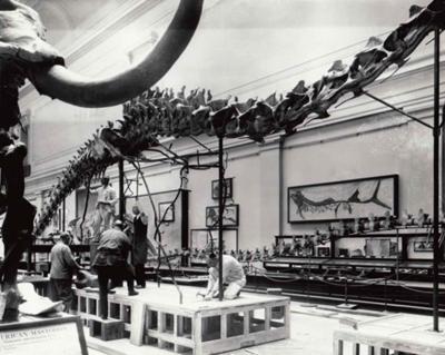 Installing the mounted skeleton, circa 1931