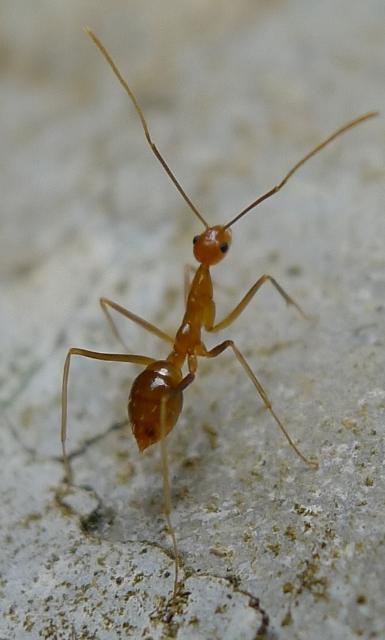 Anoplolepis gracilipes. (Credit: John Tann, Creative Commons License)