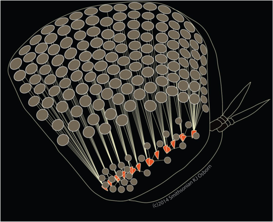 Illustration of the basic morphology of the P. gracilis eye showing the upward and lateral facing portions of the eye, the crystalline lenses in each ommatidia (circles), light guides connecting the lenses to the retinas (lines), and the multiple, discontinuous retinas (orange).