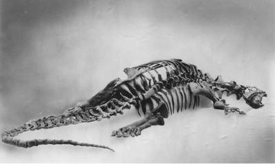Smithsonian Camarasaurus