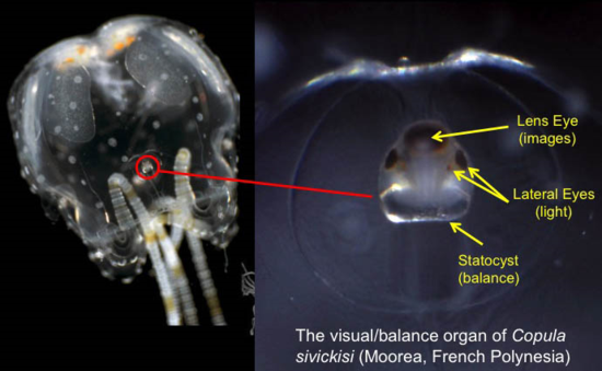 The box jellyfish Copula sivickisi and its complex sensory structure including eyes and balance organ.