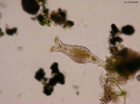 Lateral view of a bdelloid rotifer (Damian H. Zanette, Wikimedia Commons)