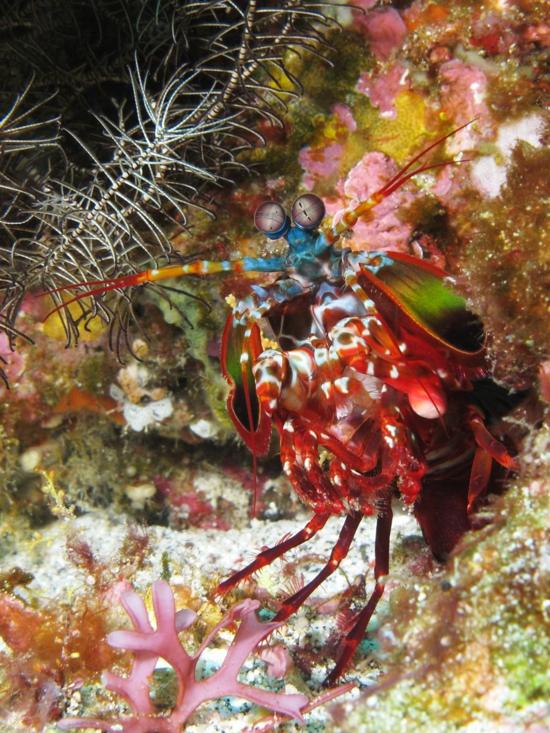 1)Peacock Mantis shrimp (Odontodactylus scyllarus) (photo credit Alexander Vaseniin, Wikipedia)