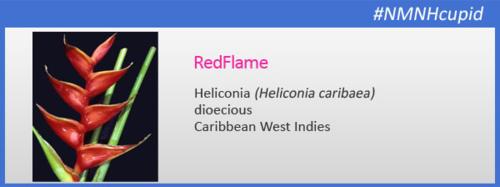 Blog-heliconia