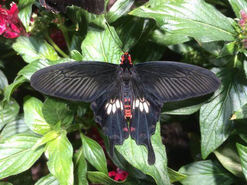 CommonRoseButterfly02