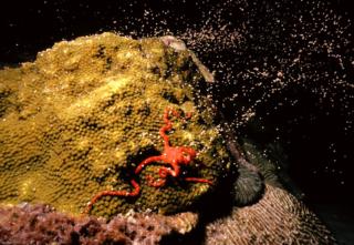 1)Stony coral spawning (Photo Credit: Haplochromis, Wikimedia)
