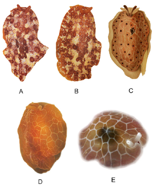Figure 3) Color variation in Pleurobranchus reticulatus (A, B, C) and P. garciagomezi (D, E)