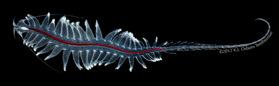 Picture of the full Tomopteris, a pelagic worm. Note that you can make out the nephridia along its body (Credit: Karen J. Osborn)