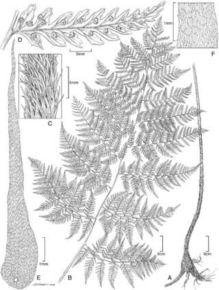 Dryopteris sweetiorum Lorence & W.L. Wagner (Artwork by Alice Tangerini)
