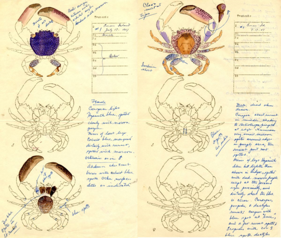 Color and carapace detail of two Trapezia species from Eman Island, 1947 (right, female; left, male)
