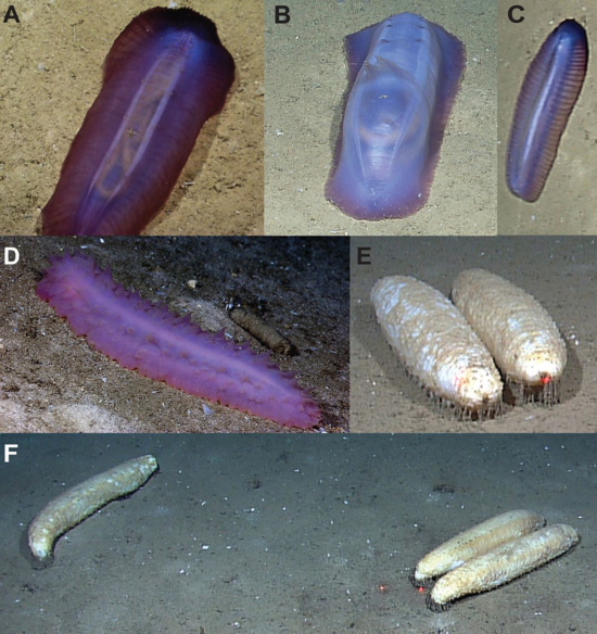 Gulf of Mexico deep-sea holothurians in the laboratory and in situ. (A) Amphigynmas bahamensis in the laboratory, ventral view; (B) Enypniastes eximia; (C) Amphigymnas bahamen¬sis; (D) ?Bathyplotes sp. B.