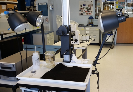 Typical photography set up for large specimens. A large plastic tray is used to contain any liquid, and a black felt pad is used for contrast since most specimens, after sitting in alcohol, have lost most of their color.