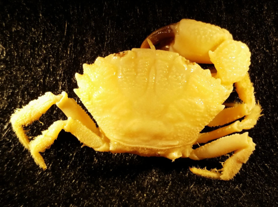 Xanthid crab Monodaeus cristulatus, USNM 221965, dorsal view (using a dissecting microscope and digital camera tube attachment and macro lens).