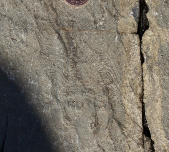 Haootia quadriformis: 560 million year old fossil (Photo by Liam Herringshaw. - See more at: http://theindependent.ca/2014/09/10/muscling-in-on-a-new-world/#sthash.gz3981Ti.dpuf)