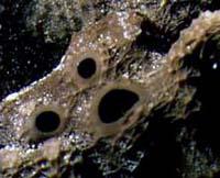 Cualquier esponja con 3 ósculos puede provocar que uno vea caras; solo incline la cabeza. Foto por Allen Collins.