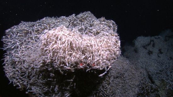 A large accumulation of shrimp at the Von Damm vent field.