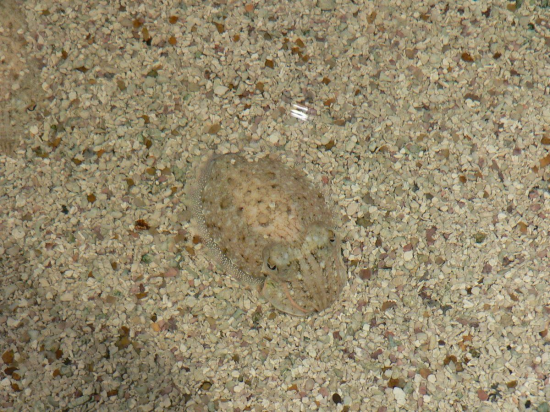 Juvenile cuttlefish matching its sandy surroundings. (Credit: Wikimedia Commons)
