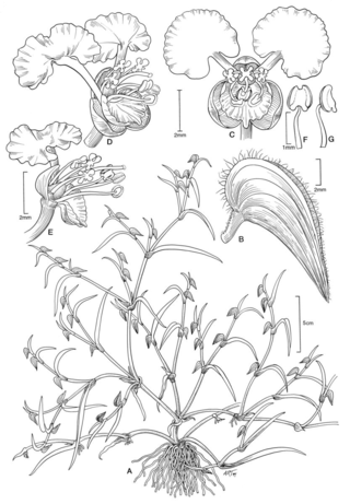 Commelina polhillii.  Illustration by Alice Tangerini