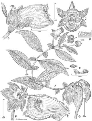 Kohleria hypertrichosa.  Illustration by Alice Tangerini