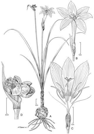 Zephyranthes proctorii.  Illustration by Alice Tangerini