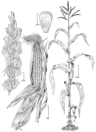 Zea mays.  Illustration by Alice Tangerini