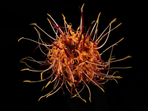 Hedychium longicornutum Griff. ex Baker, from Botanica Magnifica, a five-volume folio of photographic art by photographer Jonathan M. Singer