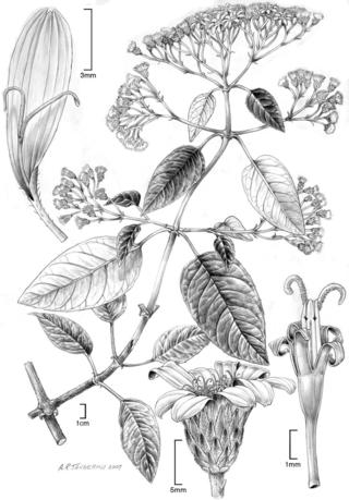 Sampera coriacea.  Illustration by Alice Tangerini