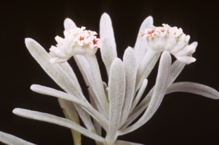 Heliotropium gnaphalodes (Boraginaceae) (Photo by R.A. Howard)