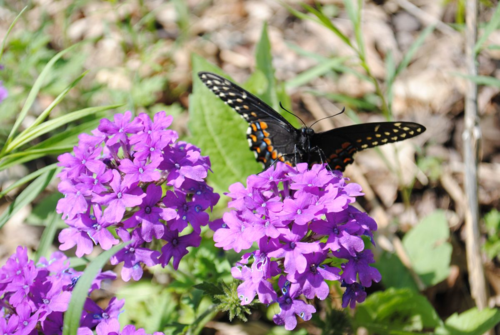 Eastern Black Swallowtail. Photo: Erin Kolski