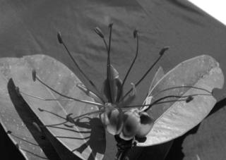 Paloue sp. nov. from the Pakaraima Mountains. (Photo by Karen Redden)