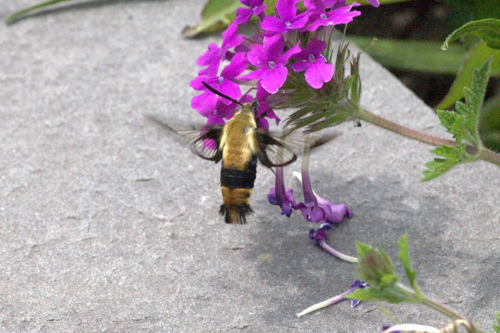 Hummingbird moth. Photo: Lea Ann Mawler