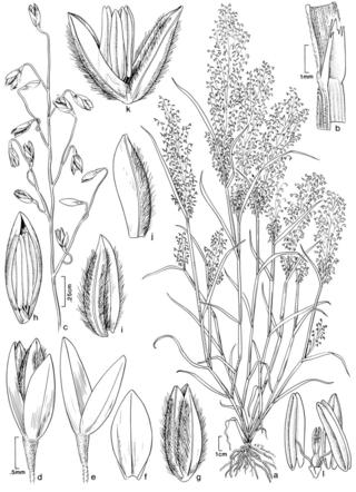 Blepharoneuron shepardii. Illustration by Alice Tangerini