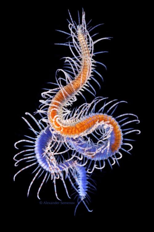 Polychaete1