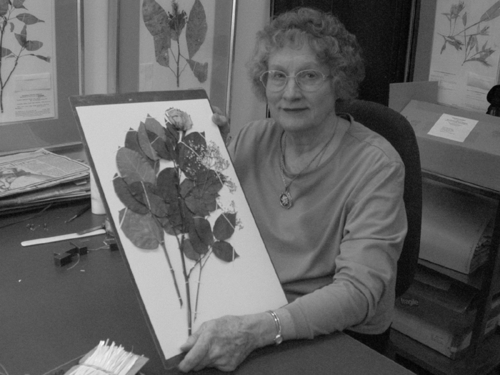 Botany volunteer Mary Ellen Wiser holds the commemorative rose specimen. (Photo by Deborah Bell)