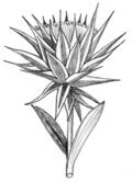 Macledium zeyheri