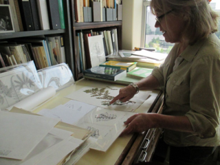 Mary Monsma points out similarities in close-up studies of ferns she illustrated for David Lellinger. She is now scanning these images as part of the herbarium digitization project. (photo by Elizabeth Jacobsen)