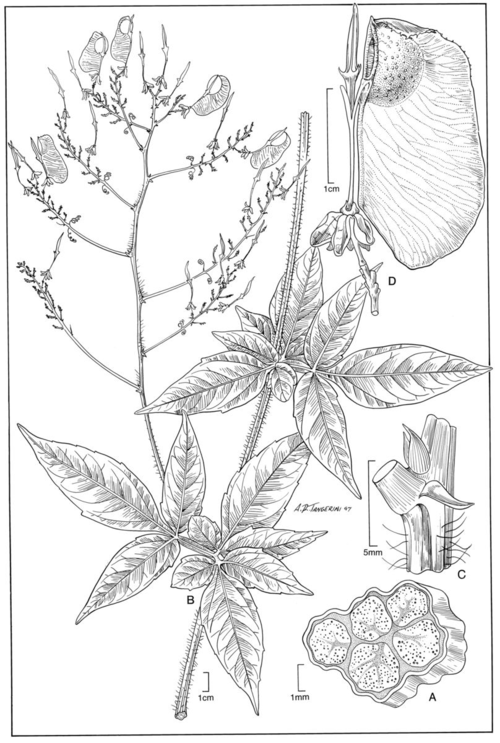 Serjania erythrocaulis.  Illustration by Alice Tangerini