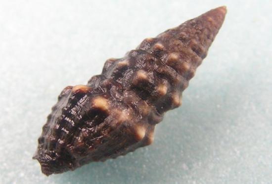 Shell of Crassispira pluto. (photo by Jan Delsing, via EoL)