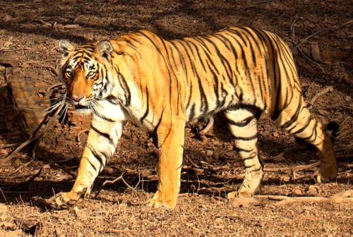 Tigerpost3