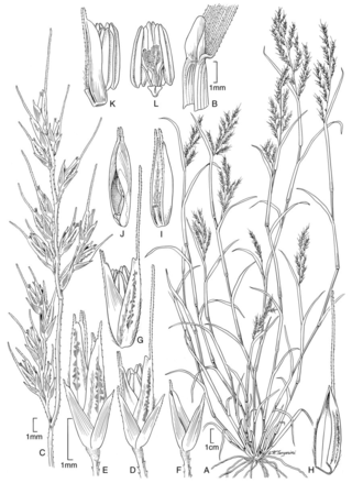 Chaboissaea subbiflora.  Illustration by Alice Tangerini