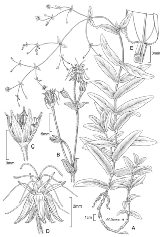 Schiedia amplexicaulis, illustration by Alice Tangerini