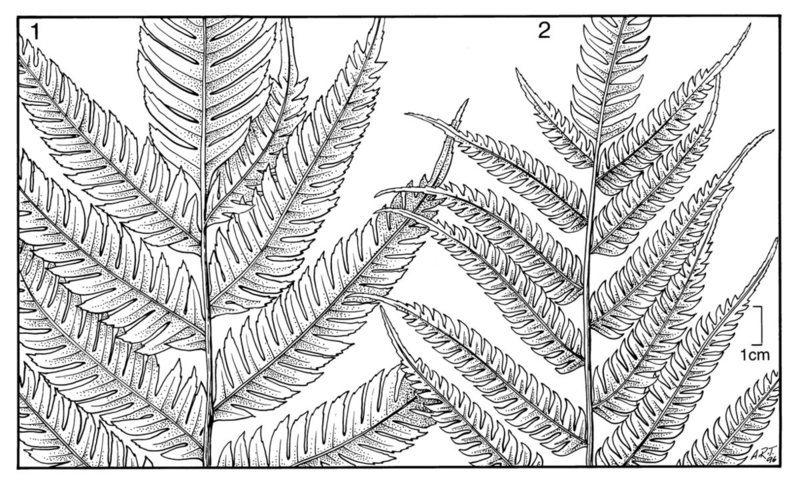 Pteris polita & deflexa, illustration by Alice Tangerini