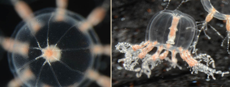 Two views of our new Cladonema jellyfish. Left showing the branching radial canals, the right showing the manubrium (basically a throat), light-sensing ocelli, etc.