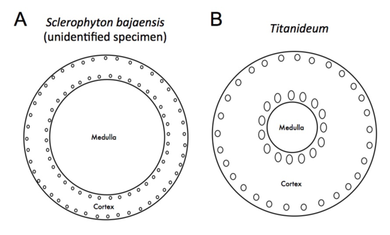 Figure 4. Diagrams of the cross section of a branch of Sclerophyton bajaensis (A) and Titanideum (B).  The solenial canals (represented by small circles) and the medulla (represented by the inner circle) were different in the two species.