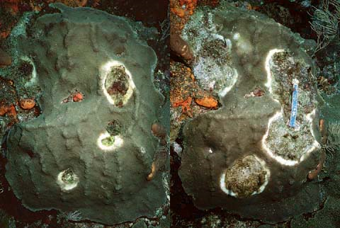 Coral infected with Yellow Band Disease. Photo credit: Andy Bruckner via NOAA.