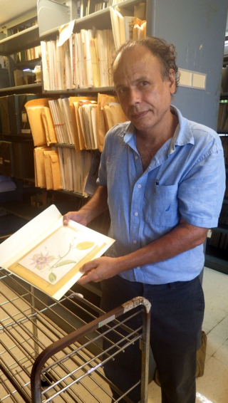 Dr. Pedro Acevedo examines one of Stahl's original watercolors at the Division of Puerto Rican Collections in the Library of the University of Puerto Rico in Mayaguez. The same illustration is reproduced in the new edition, Volume II, Fascicle IV WATERCOLOR 324. Passiflora maliformis L. (Passifloraceae) Original: UPR-RUM, #426. Size: 21.6 × 16 cm. (photo by J. Knight, 2013)