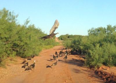 a flock of turkeys blocks the road
